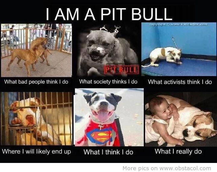 Pitbull Dog Meme – HD Wallpapers